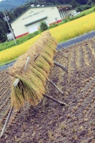 A Row of Drying Rice